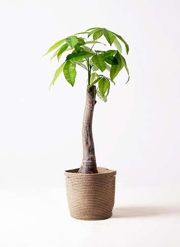 観葉植物 パキラ 8号 朴 リブバスケットNatural 付き