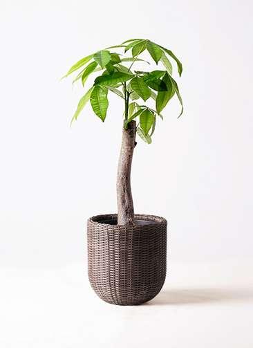 観葉植物 パキラ 8号 朴 ウィッカーポットエッグ 茶 付き