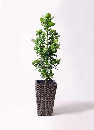 観葉植物 クルシア ロゼア プリンセス 8号 ウィッカーポット スクエアロング OT 茶 付き