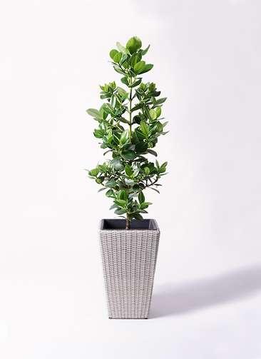 観葉植物 クルシア ロゼア プリンセス 8号 ウィッカーポット スクエアロング OT 白 付き