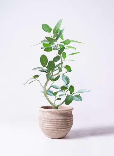 観葉植物 フィカス ベンガレンシス 8号 曲り テラアストラ リゲル 赤茶色 付き