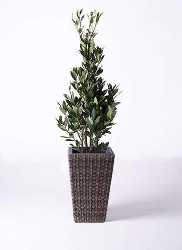 観葉植物 月桂樹 8号 ウィッカーポット スクエアロング OT 茶 付き
