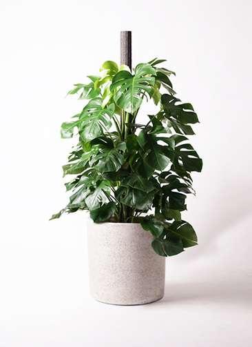 観葉植物 モンステラ 10号 ヘゴ柱 サンディ シリンダー 白 付き