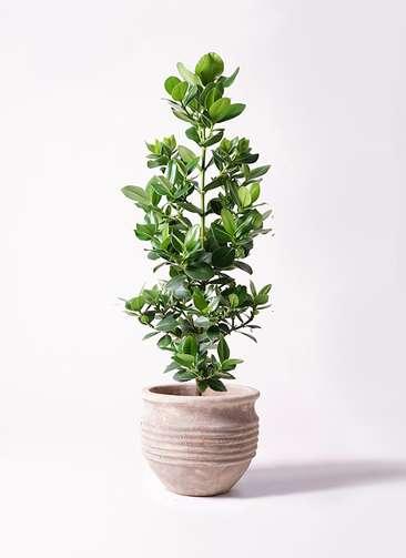 観葉植物 クルシア ロゼア プリンセス 8号 テラアストラ リゲル 赤茶色 付き