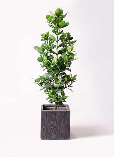 観葉植物 クルシア ロゼア プリンセス 8号 ベータ キューブプランター ウッド 茶 付き