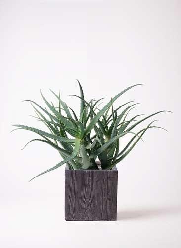 観葉植物 キダチアロエ 8号 8号ベータ キューブプランター ウッド 茶 付き