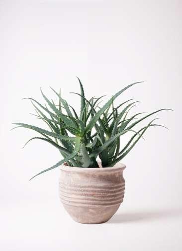 観葉植物 キダチアロエ 8号 8号 テラアストラ リゲル 赤茶色 付き