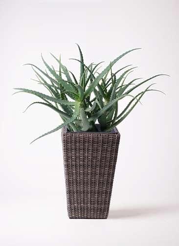 観葉植物 キダチアロエ 8号 8号ウィッカーポット スクエアロング OT 茶 付き