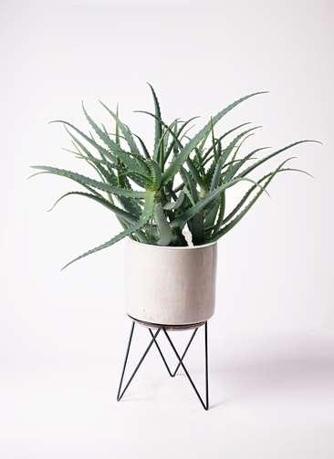 観葉植物 キダチアロエ 8号 8号ビトロ エンデカ 鉢カバースタンド付 クリーム 付き