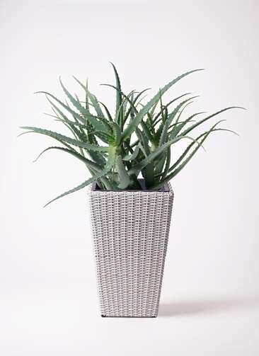 観葉植物 キダチアロエ 8号 8号ウィッカーポット スクエアロング OT 白 付き