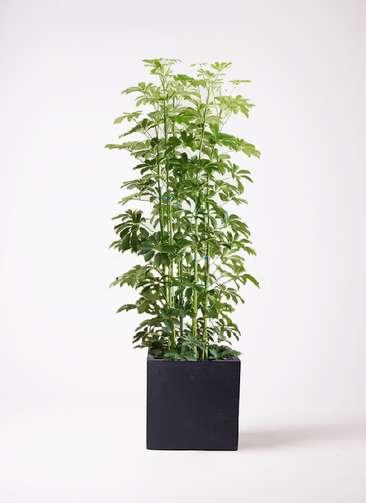 観葉植物 カポック(シェフレラ) 10号 ノーマル ベータ キューブプランター 黒 付き
