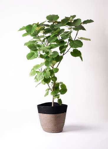 観葉植物 フィカス ウンベラータ 10号 ノーマル リブバスケットNatural and Black 付き