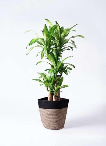 観葉植物 ドラセナ 幸福の木 8号 ノーマル リブバスケットNatural and Black 付き