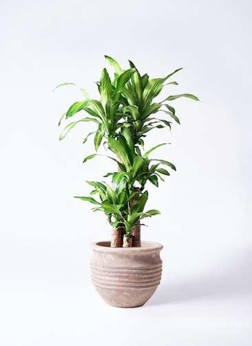 観葉植物 ドラセナ 幸福の木 8号 ノーマル テラアストラ リゲル 赤茶色 付き
