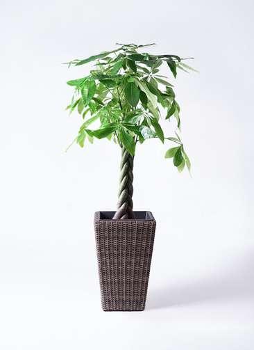 観葉植物 パキラ 8号 ねじり ウィッカーポット スクエアロング OT 茶 付き