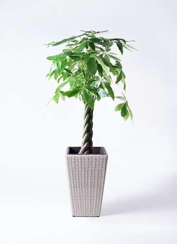観葉植物 パキラ 8号 ねじり ウィッカーポット スクエアロング OT 白 付き
