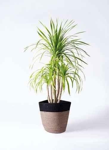 観葉植物 ドラセナ カンボジアーナ 8号 リブバスケットNatural and Black 付き
