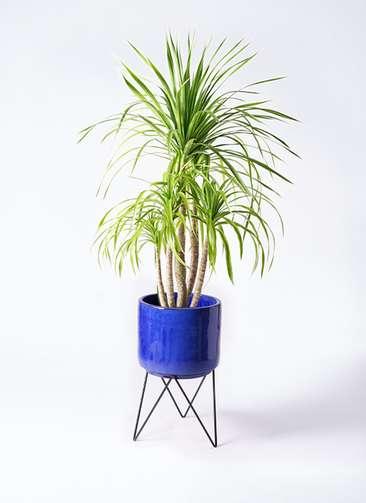 観葉植物 ドラセナ カンボジアーナ 8号 ビトロ エンデカ 鉢カバースタンド付 ブルー 付き
