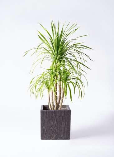 観葉植物 ドラセナ カンボジアーナ 8号 ベータ キューブプランター ウッド 茶 付き