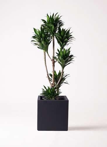 観葉植物 ドラセナ コンパクター 8号 ベータ キューブプランター 黒 付き