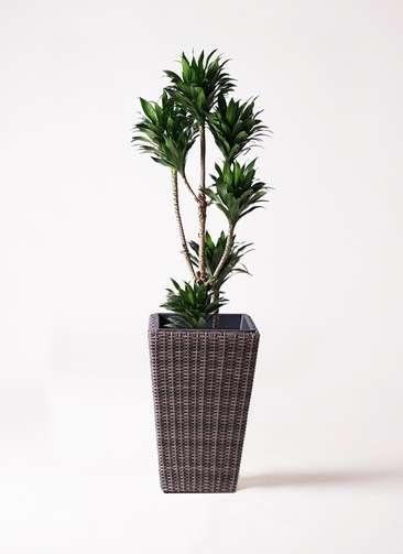観葉植物 ドラセナ コンパクター 8号 ウィッカーポット スクエアロング OT 茶 付き