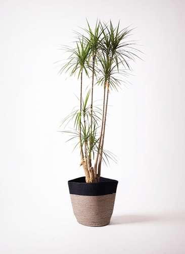 観葉植物 ドラセナ コンシンネ 10号 リブバスケットNatural and Black 付き