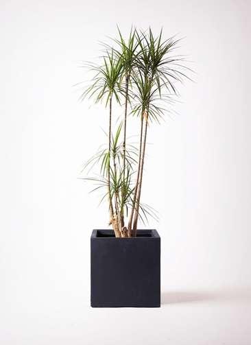 観葉植物 ドラセナ コンシンネ 10号 ベータ キューブプランター 黒 付き