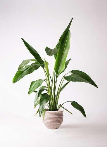 観葉植物 旅人の木 8号 テラアストラ リゲル 赤茶色 付き
