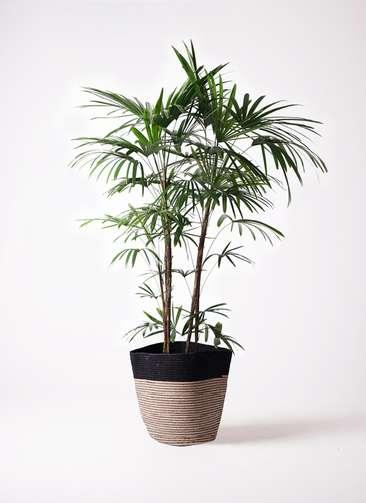 観葉植物 シュロチク(棕櫚竹) 10号 リブバスケットNatural and Black 付き