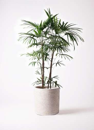 観葉植物 シュロチク(棕櫚竹) 10号 サンディ シリンダー 白 付き