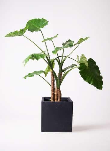 観葉植物 クワズイモ 10号 ベータ キューブプランター 黒 付き