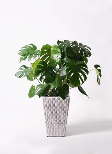 観葉植物 モンステラ 8号 ボサ造り ウィッカーポット スクエアロング OT 白 付き