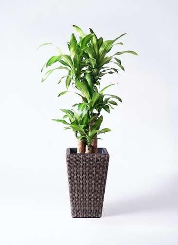 観葉植物 ドラセナ 幸福の木 8号 ノーマル ウィッカーポット スクエアロング OT 茶 付き