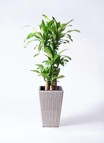 観葉植物 ドラセナ 幸福の木 8号 ノーマル ウィッカーポット スクエアロング OT 白 付き