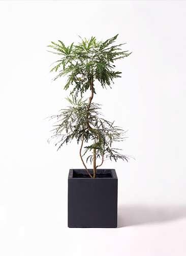 観葉植物 グリーンアラレア 8号 曲り ベータ キューブプランター 黒 付き
