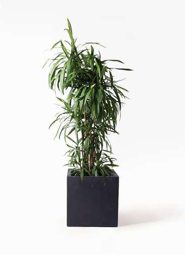 観葉植物  コルディリネ (コルジリネ) ストリクタ 10号 10号 ベータ キューブプランター 黒 付き