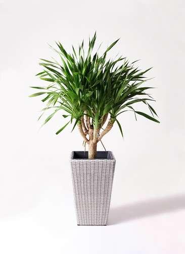 観葉植物 ドラセナ パラオ 8号 ウィッカーポット スクエアロング OT 白 付き
