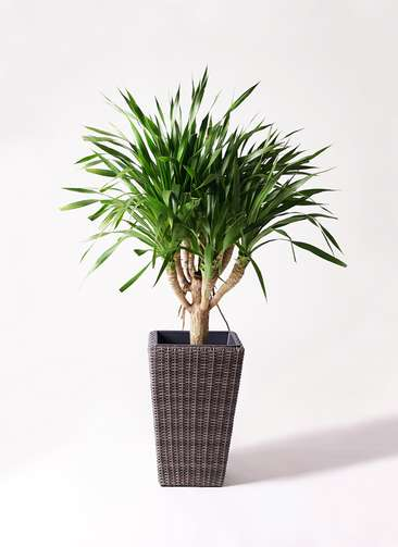 観葉植物 ドラセナ パラオ 8号 ウィッカーポット スクエアロング OT 茶 付き