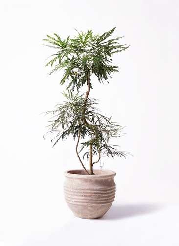 観葉植物 グリーンアラレア 8号 曲り テラアストラ リゲル 赤茶色 付き