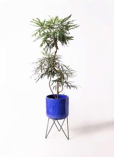 観葉植物 グリーンアラレア 8号 曲り ビトロ エンデカ 鉢カバースタンド付 ブルー 付き