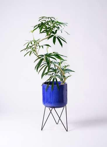 観葉植物 シェフレラ アンガスティフォリア 8号 曲り ビトロ エンデカ 鉢カバースタンド付 ブルー 付き