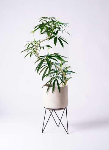 観葉植物 シェフレラ アンガスティフォリア 8号 曲り ビトロ エンデカ 鉢カバースタンド付 クリーム 付き