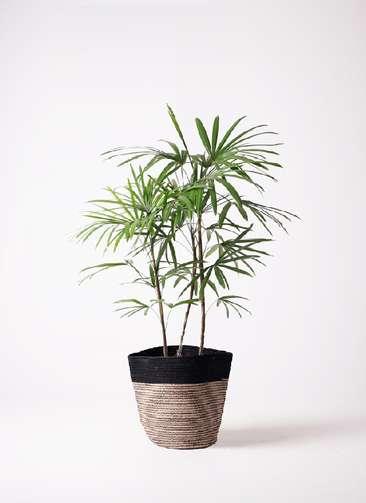 観葉植物 シュロチク(棕櫚竹) 8号 リブバスケットNatural and Black 付き