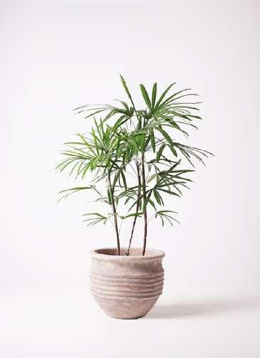 観葉植物 シュロチク(棕櫚竹) 8号 テラアストラ リゲル 赤茶色 付き
