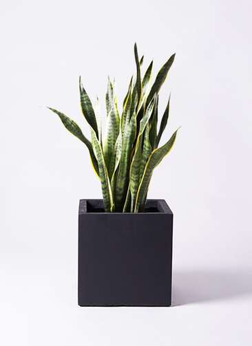 観葉植物 サンスベリア 8号 トラノオ ベータ キューブプランター 黒 付き