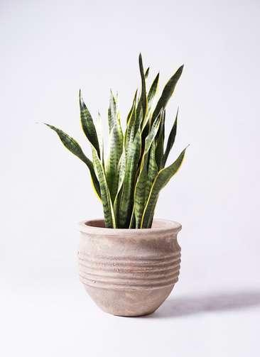 観葉植物 サンスベリア 8号 トラノオ テラアストラ リゲル 赤茶色 付き