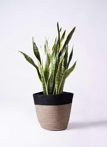 観葉植物 サンスベリア 8号 トラノオ リブバスケットNatural and Black 付き