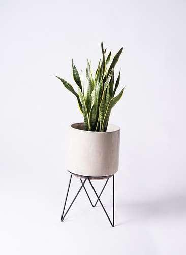 観葉植物 サンスベリア 8号 トラノオ ビトロ エンデカ 鉢カバースタンド付 クリーム 付き