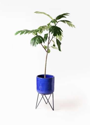観葉植物 パンノキ 8号 ビトロ エンデカ 鉢カバースタンド付 ブルー 付き