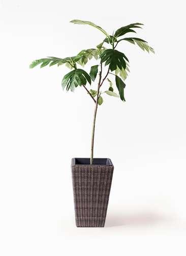 観葉植物 パンノキ 8号 ウィッカーポット スクエアロング OT 茶 付き